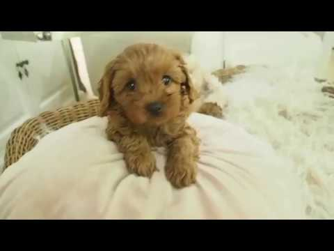 Chloe's Toy Cavoodle Girl G - Pocket Puppies (видео)