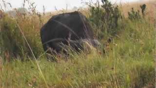 Video Two lions on a buffalo hunt MP3, 3GP, MP4, WEBM, AVI, FLV Februari 2019