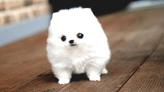 Video Funny Puppies And Cute Puppy Videos Compilation 2016 [BEST OF] MP3, 3GP, MP4, WEBM, AVI, FLV November 2018