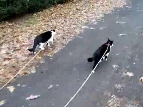 Cat walking dog on leash youtube