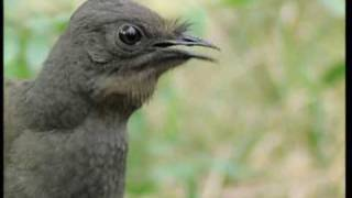 Download Youtube: Attenborough: the amazing Lyre Bird sings like a chainsaw! Now in high quality | BBC Earth