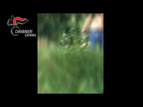 Palagonia: piantagione di canapa tra gli agrumeti