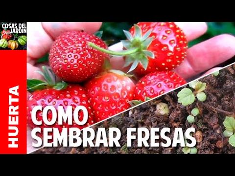 Germinando semillas de fresa