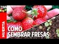 Cómo conseguir y germinar semillas de Fresas. Cultivo de