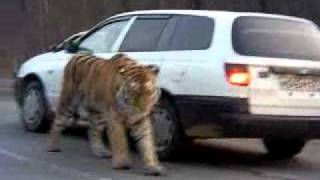Siberian Tiger on the road. Амурский тигр на дороге .  To license this video contact info@lpe360.com full download video download mp3 download music download