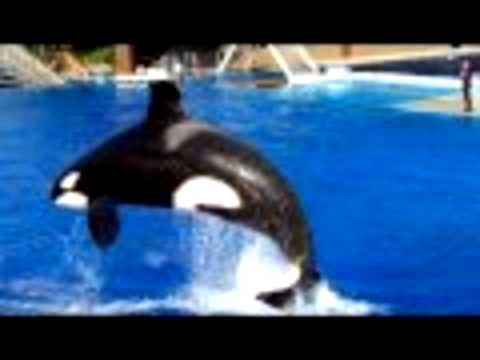 watch Trainer Killed by Killer Whale at SeaWorlds Shamu Stadium (Part 1) (видео)