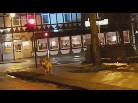 Deutschland: Schäfer fordern Unterstützung beim Schutz vor Wölfen