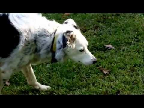Smart Dogs - Meet an extraordinary Border collie and other dogs that are changing our view of canine intelligence. Aired February 9, 2011 on PBS. New discoveries are reve...