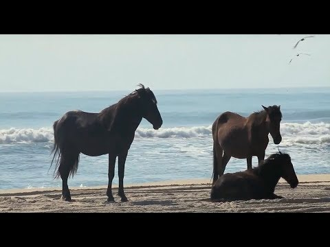 Wild Horses NC Outer Banks - Wild Photo Adventures