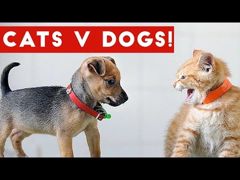 Funniest Cat Vs Dog Video Compilation December 2016 | Funny Pet Videos:  Brand new weekly theme compilation featuring clips, viral videos, bloopers and outtakes of the funniest cat versus dog videos. Check out Team Internet's A Westworld Christmas ► http://www.ascendents.net/?v=ryjrijObMk0Send us a link to your video if you would like to see it in one of our compilations.http://docs.google.com/forms/d/1sR5Y6PyFGOpIMp6-j6XDAH3J07naG4ruRAfXyTOWZRE/viewform?c=0&w=1Check out more Funny Dog Videos ► http://www.ascendents.net/?v=7zZU-5uPHdQ&list=PLf6Ove6NWsVcM75fCjLk3i-9IkpCmPyXw&index=3Funny Cat Videos ► http://www.ascendents.net/?v=BoM9-bXzDjk&list=PLf6Ove6NWsVeM5MOVs_Yzj3AsV41DfQ9R&index=1Click here to Subscribe ► http://www.youtube.com/user/tailsnfails?sub_confirmation=1Welcome to Funny Pet Videos, a channel dedicated to cute, fluffy cats and curious, rambunctious dogs. We are here to fill your life with more furry and funny things the adorable friends in our lives do. Every Thursday, Friday, Saturday and Sunday we'll have a new compilation of the funniest home videos of cats, dogs, birds and all kids of animals being equally hilarious and adorable. Be sure the Subscribe to our channel to never miss one! So sit back, relax and have a laugh on us. For licensing information contact us at licensing@collabcreators.com. We'd love to have your furry friend on our channel!