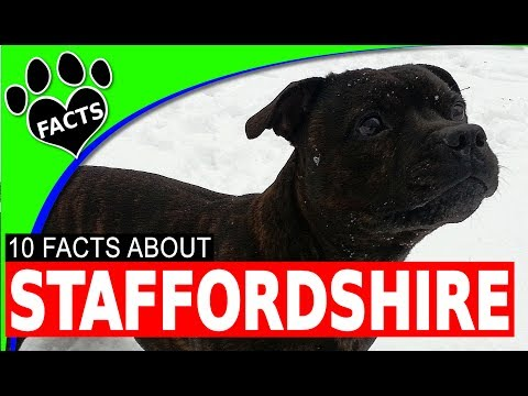 English Staffordshire Bull Terrier Dogs 101 Facts Information #Staffie (видео)
