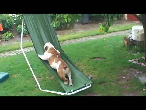 BULLDOG ON A HAMMOCK