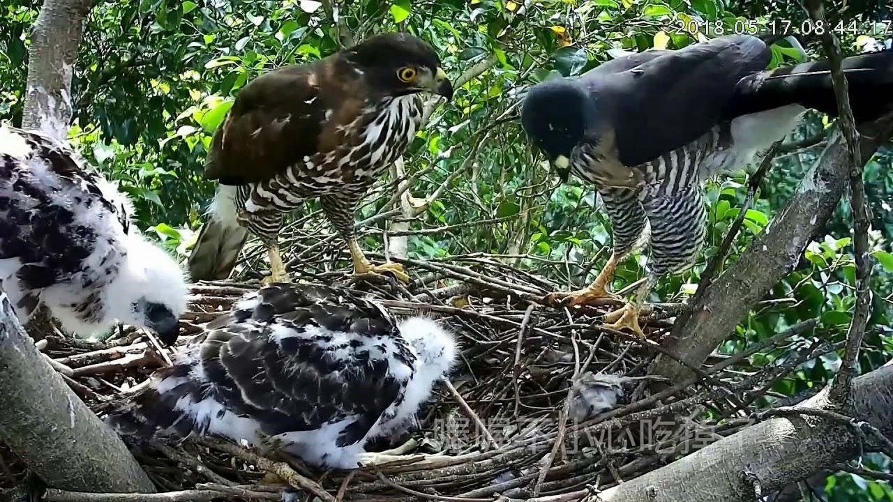 2018年大安森林公園鳳頭蒼鷹一家精選紀錄