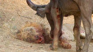 Video Удивительный Лев против буйвола в национальном парке Замбии 2015 ! MP3, 3GP, MP4, WEBM, AVI, FLV Juni 2017