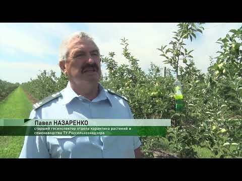 Мониторинг карантинных вредителей с использованием феромонных ловушек проведен специалистами Россельхознадзора в плодовом саду Ростовской области