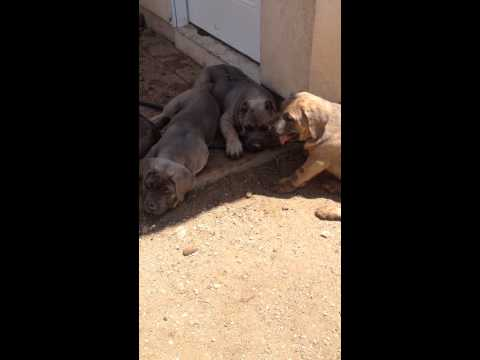 Videos of the puppies playng