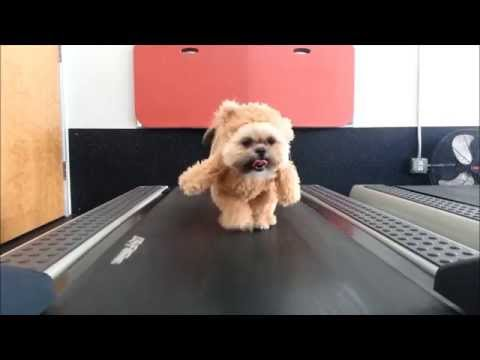 Shih Tzu on a Treadmill in a Teddy Bear Costume