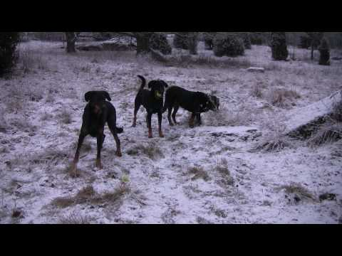 Our Beaucerons playing in the snow