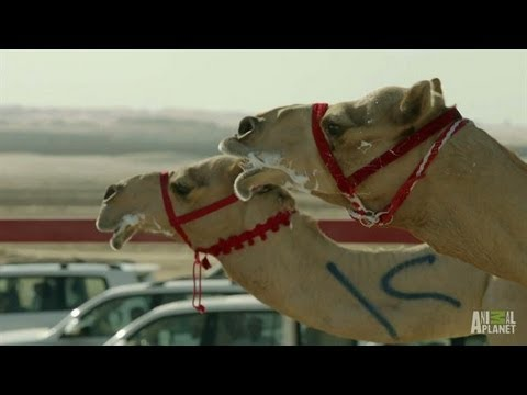 High-Tech Camel Races | Wild Arabia