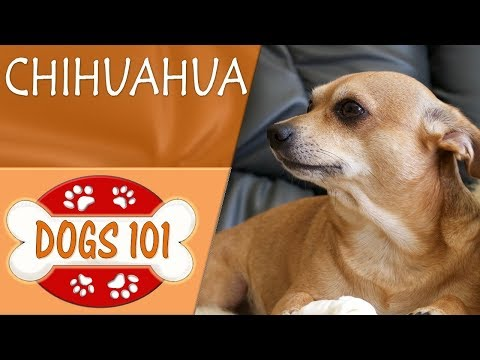 Dogs 101 - CHIHUAHUA - Top Dog Facts About the CHIHUAHUA (видео)