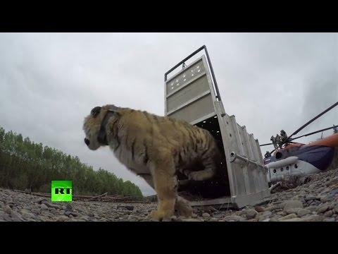 Kuntoutettu Vlad-tiikeri päästettiin vapauteen – Pois alta!