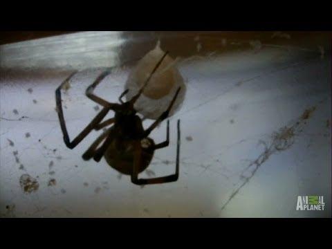 Brown widow spider nest