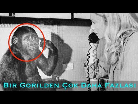 Bu Goril Ne Anlatmaya Çalışıyordu ? -Goril Koko'nun Hikayesi