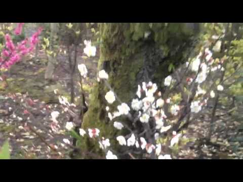 The Japanese First Loved Plum Blossoms (видео)