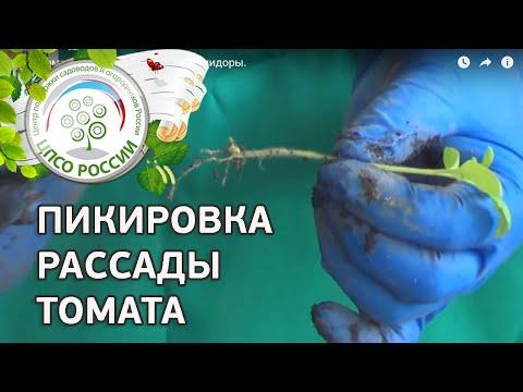 Как пикировать сеянцы томата или как пикировать помидоры