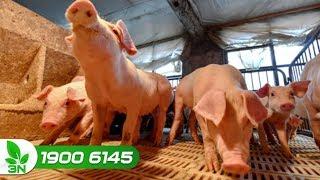 Nông nghiệp | Sẵn sàng kiểm nghiệm virus dịch tả lợn châu Phi