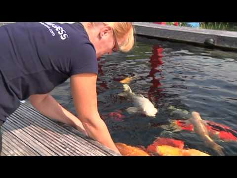 Quality Japanese Koi Pond - Beautiful Koi