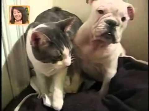 可愛的阿貓阿狗在一起玩耍,但是貓咪卻一直毆打狗!?