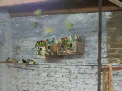 AGAPORNIS criadero  colonial.MOV
