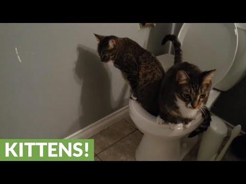العرب اليوم - شاهد: قطط تلتزم بقواعد المنزل وتقضي حاجاتها في المرحاض