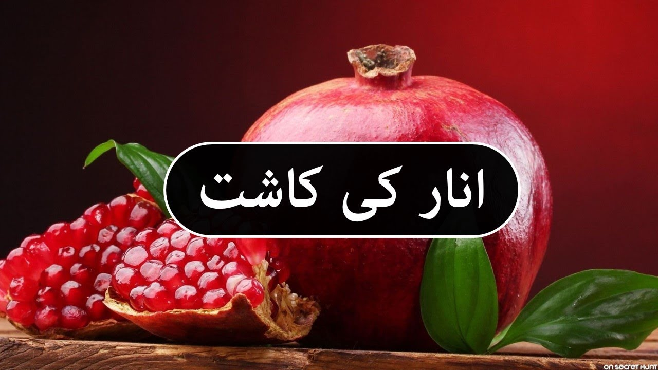 انار کی کاشت Anaar ki kasht Pomegranate Cultivation