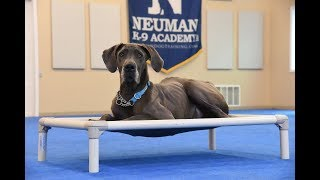 Blue (Great Dane) graduated from the dog training boot camp at Neuman K-9 Academy. This program included obedience commands to sit, stay, heel or walk on a loose leash, come when called, proper etiquette, no jumping up, meeting and greeting people under control, and running on a treadmill.Our dog training camp provides programs for the Great Dane such as boot camp, obedience training, and puppy camp.Neuman K-9 Academy is a professional canine training school that provides board and train (inboard) for dogs, and fully trained dogs for sale.For more information visit: www.mndogtraining.comLocated in Hugo Minnesota just north of Minneapolis and St. Paul (MN).