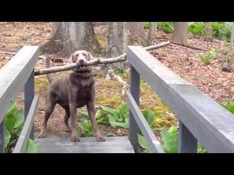 這隻狗狗嘴裡咬了一大根樹枝被卡住無法前進,最後牠終於找到了解決方法時!
