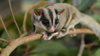 Top 10 exotic animals you can own as pets, the rarest animals in the world of pet.Subscribe for more! http://youtube.com/T10Ch?sub_confirmation=1TOP 10 EXOTIC ANIMALS PETS------#10 - FENNEC FOXES#9 - TAMANDUAS#8 - BENNETT'S WALLABIES#7 - SUGAR GLIDER#6 - HYACINTH MACAW#5 - SQUIRREL MONKEY#4 - CAPUBARA#3 - HEDGEHOGS#2 - PYTHON#1 - MADAGASCAR COCKROACH-----