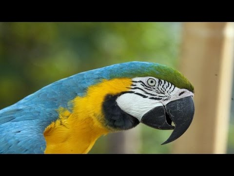 Video Macaw Documentary download in MP3, 3GP, MP4, WEBM, AVI, FLV January 2017