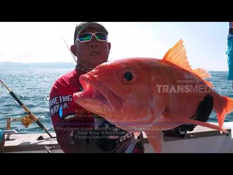 MANCING MANIA | LONG TAIL RUBY PULAU DEWATA (31/03/18) 1-3
