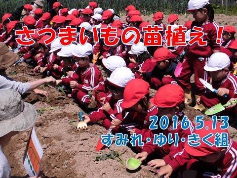 はちまん保育園(福井市)さつまいもの苗植え。3歳児から5歳児の異年齢グループでチャレンジ!大きくな〜れ!