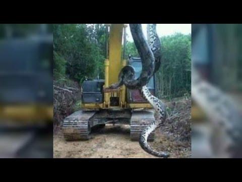 uma explosao de uma caverna na obra da usina de belo monte no para fez surgir uma cobra gigante pesando 400 kg medindo 10 metros e com um diametro de