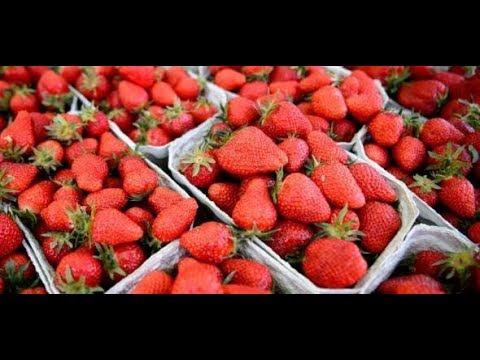 KEINE ERNTEHELFER: Erdbeeren verfaulen auf dem Fel ...