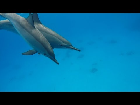 Swimming with DolphinsPod @ Marsa Alam - Samadai Reef