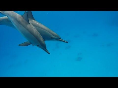 Swimming with DolphinsPod @ Marsa Alam - Samadai Reef