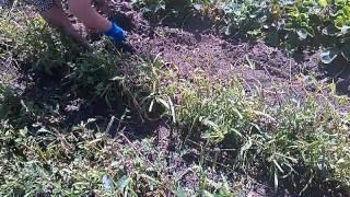 Собираем выкопанный чеснок 2013