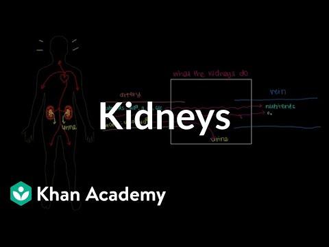 Meet The Kidneys Video Khan Academy