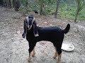 Download Lagu হরিয়ানা ও তোতাপুরী ছাগল পালন | Hariana & totapuri goat farm | Mp3 Free