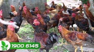 Chăn nuôi gà | Gà bị cầu trùng chữa trị thế nào?