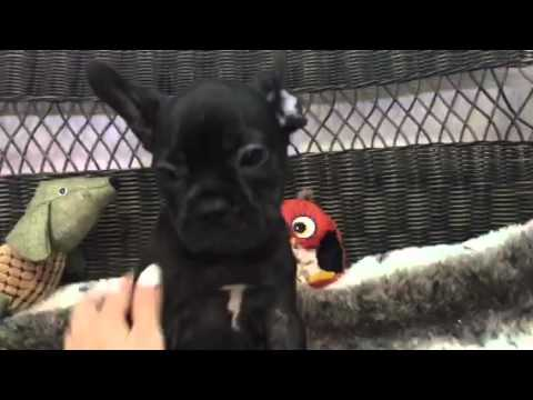 Spunky & Full of Personality! Baby Boy Frenchie!